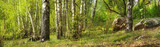 Forest with birches - 65704621