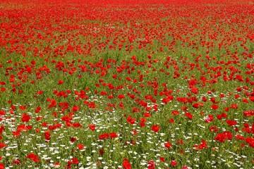 mohnblumenfeld mit gänseblümchen und gräsern, hintergrund