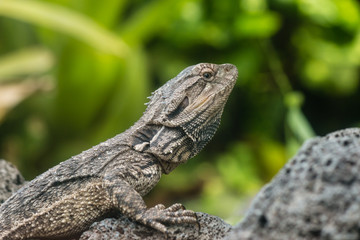 detail of Tuatara lizard
