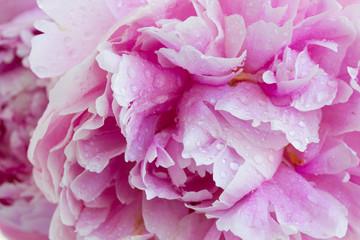 macro of pink peonies