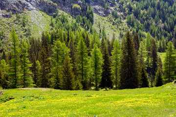 Conifere e prati in montagna