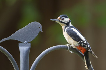 Great Spotted Woodpecker perched on a railing