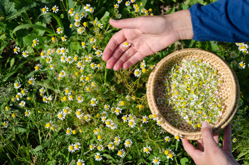 Hand pick chamomile herbal flower blooms to dish