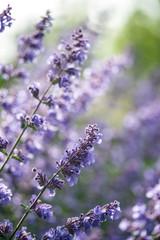 Close up image of wild lavender plant landscape with shallow dep