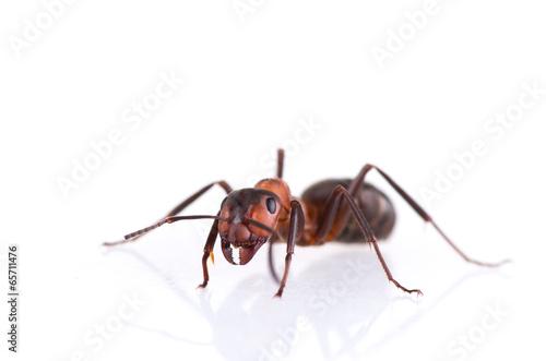 Leinwandbild Motiv ant isolated on white background.