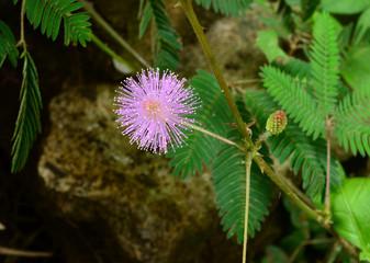 wild flower pudica mimosa