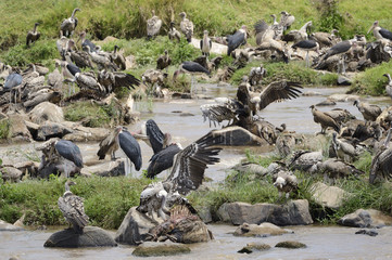 Vultures and Marabu's scavenge on drowned wildebeest.
