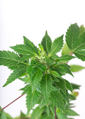 Young cannabis plant, marijuana