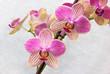 Phalaenopsis flowers (orchids)1