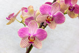Phalaenopsis flowers (orchids)1