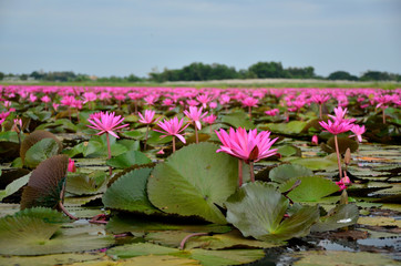 Lotus Flowers Lake