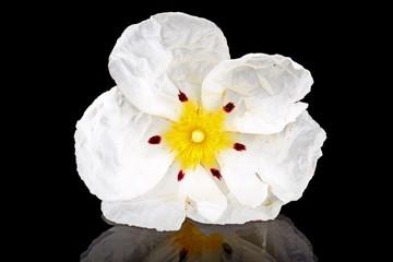 Gum rockrose - Cistus ladanifer
