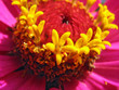 Close up of pink zinnia stamens