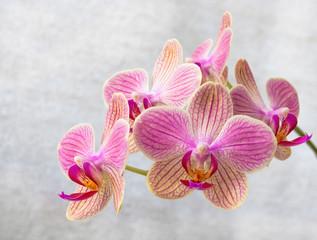 Phalaenopsis flowers (orchid) 2