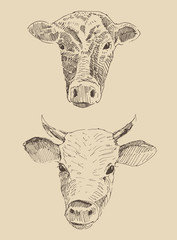 cows heads, vintage illustration, engraved style