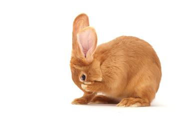 Rabbit sitting against white background