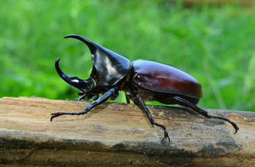Male Siamese rhinoceros beetle, Xylotrupes gideon