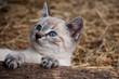 canvas print picture - Kätzchen im Stroh