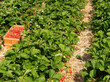 Frische Erdbeeren vom Erdbeerfeld