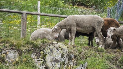 St. Moritz, Dorf, See, Schafe, Landwirtschaft, Alpen, Schweiz