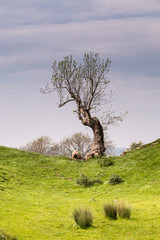 Single tree at Brough Castle
