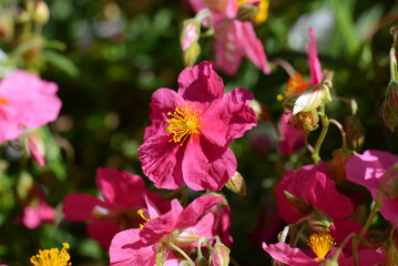 Pink helianthemum