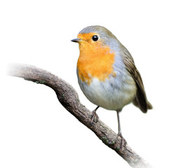 Robin on White Background