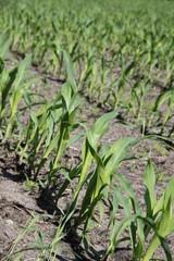 Junge Maispflanzen auf einem Feld