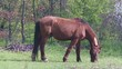 Постер, плакат: Grazing Horse Domestic Mammals