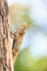 Brown lizard on the tree.