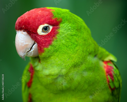 Foto op Plexiglas Papegaai Portrait of red and green conure parrot