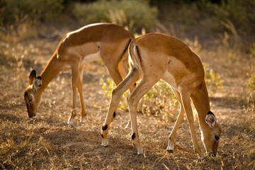 Two female impala grazing