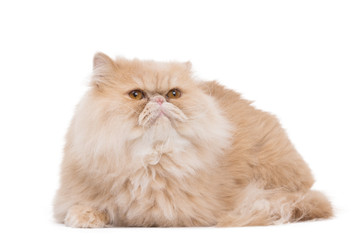 Persian cat sitting on the white background.