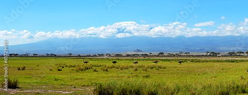 Plexiglas Struisvogel Ostriches Kilimanjaro