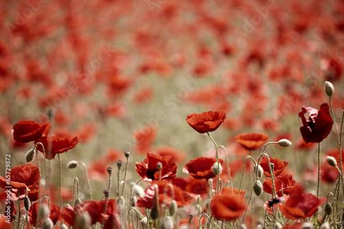 Keuken foto achterwand Poppy field with poppies