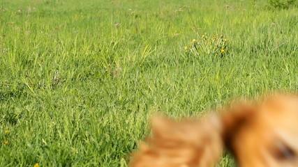 Running Cocker Spaniel on the green grass