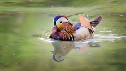 Mandarin Duck, male