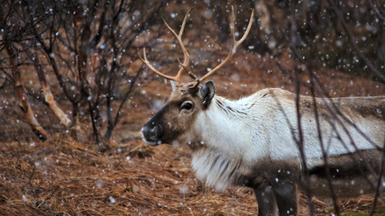 Reindeer in flurry snowfall