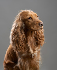redhead dog spaniel on a gray