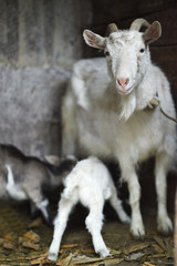 White domestic goat feeding goats