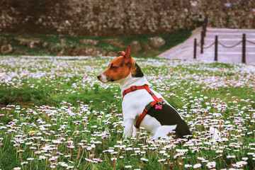 A jack russell on the green grass