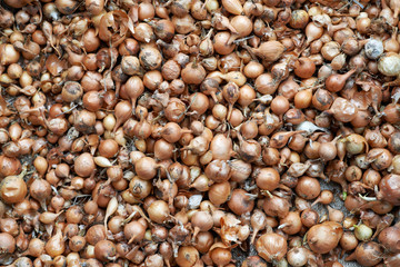 texture of small bulbs for planting