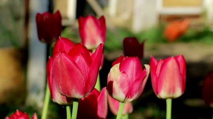 Tulips in garden. Red tulips swaying in the wind.