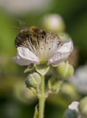 Nektar licking bee on blackberry blossom