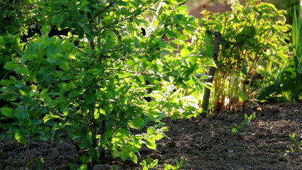 Small cherry tree and green grass on bright backlit.