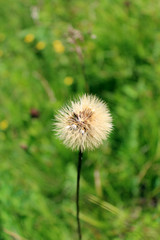 ripe dandelion on the green grass