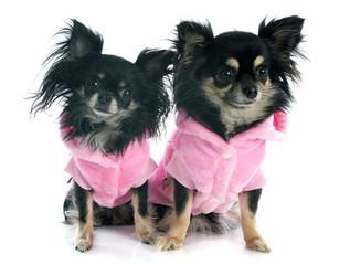 dressed chihuahuas