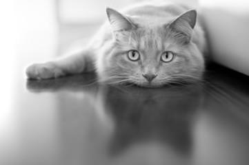 Bored cat - black white