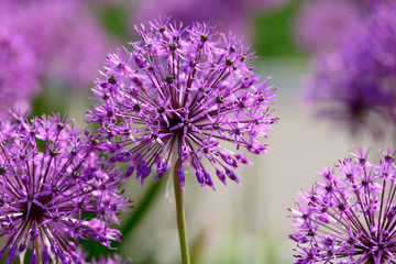 Allium flowers closeup