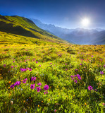 Blooming pink flowers in the Caucasian mountains.